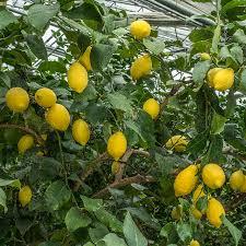 Propagazione del limone tramite talea.