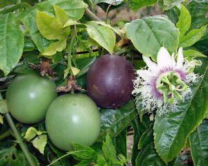 Sviluppo e crescita del passion fruit o frutto della passione.